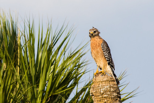 Shooting the breeze - Red-shouldered Hawk