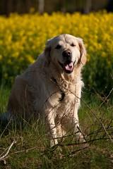 Soulfulness. ( kerstin-horn.de) Tags: dog goldenretriever golden spring retriever immo highqualitydogs