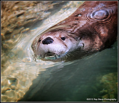 coming up for air (rsteup) Tags: animals zoo indiana otter riverotter zooanimals fortwaynein fortwaynechildrenszoo northamericanriverotter headabovewater swimmingotter canon60d canoneos60d