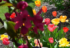 Blossom, Blooms, Beautiful (EverydayLivingMoment74) Tags: flowers red flower green nature minnesota yellow garden petals purple outdoor rochester flowerbed tulip coloful rochesterminnesota southeaasternminnesota