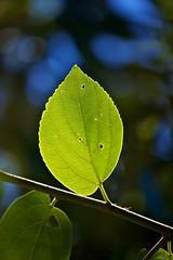 Solitary (Deb Jones1) Tags: nature beauty leaves canon garden botanical outdoors leaf flora bokeh flickrawards bokehgreen debjones1