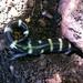 Ringed Salamander