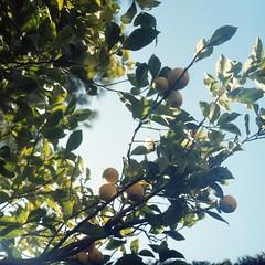 Underneath the lemon tree (Alexis Szyd.) Tags: tree 120 tlr film analog mediumformat square lemon kodak 66 portra160vc yashica124mat alexisszyd