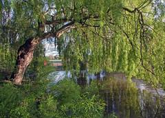 Peckham Willow... (Lady Haddon) Tags: park copyright lake tree london canon canon5d 20mm peckhamryepark weepingwillow southwark allrightsreserved peckham 2012 se15 canon5dmarkii may2012 kimhaddon kimhaddonphotography