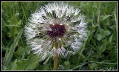 Wishing Seeds (tonymcnab) Tags: nature grass weeds seed dandelion wishing
