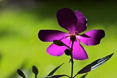 In the afternoon light (Deb Jones1) Tags: flowers flower macro nature beauty canon garden botanical outdoors flora purple blooms flickawards debjones1