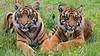 Sumatran Tiger 3 (Funky Foxy) Tags: tiger sumatrantiger pantheratigrissumatrae endangeredbigcats