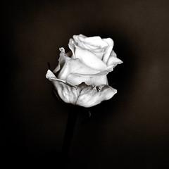 "The white rose (Ipanem-2009) Tags: bw white flower rose nikon fiori biancoenero blackdiamond d90 bsquare blackwhitephotos mywinners flickraward ""nikonflickraward"" blakcdiamond bestofmywinners"