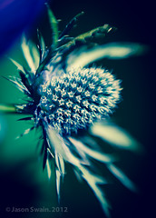 Lensbaby Sea Holly Bokeh Wednesday Blues (s0ulsurfing) Tags: lighting flowers blue light sunlight blur flower color colour art nature beautiful beauty closeup lensbaby canon petals spring flora focus soft colours dof natural bokeh girly feminine lumiere 7d stems bloom april flowering colourful blooms elegant delicate lensbabies wight 2012 seaholly eryngiummaritimum s0ulsurfing canon7d