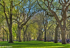 Central Park : Elm Trees (KP Tripathi (kps-photo.com)) Tags: newyorkcity trees newyork beautiful bright path centralpark manhattan sunny  elmtrees    canoneosmarkiii newyorkcityandmanhattan    thnhphnewyork      kptripathi canoneos24105f4lis