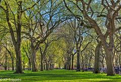 Central Park : Elm Trees (KP Tripathi (kps-photo.com)) Tags: newyorkcity trees newyork beautiful bright path centralpark manhattan sunny 美国 elmtrees 时代广场 紐約 タイムズスクエア canoneosmarkiii newyorkcityandmanhattan 美国加州 ニューヨークシティ 뉴욕시 thànhphốnewyork न्यूयॉर्कशहर 타임스광장 泰晤士廣場 مدينةنيويورك นิวยอร์กซิตี้ kptripathi canoneos24105f4lis