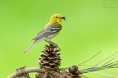 Pine warbler on a pine cone (Cherished Light Photography | Rajan Desai) Tags: birds canon avian warbler allegany pinewarbler songbirds photoofthedaynwf12