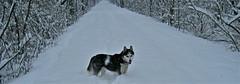 IMG_0273 (sandaxel) Tags: white husky biketrail heavysnow winter2010