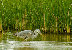 Bernat pescaire / Grey Heron (SBA73) Tags: bird animal au catalonia ave ardeacinerea catalunya pajaro llobregat greyheron aiguamolls ocell parcnatural garzareal garsa deltadelllobregat bernatpescaire maresma agr lesfilipines agrgris