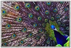 Paon (klemmye) Tags: macro animal animals zoo animaux couleur roue paon flickraward flickraward5 me2youphotographylevel1