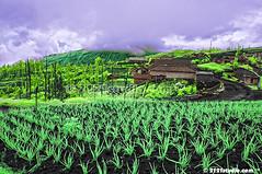 Cemara Lawang (Infrared) (2121studio) Tags: nature indonesia ir nikon asia surrealism dream nikond50 ali illusion malaysia infrared indah wonderland kuantan alam mountbromo mimpi nikonian d90 eastjava malaysianphotographer jawatimur drali probolinggo travelphotographer ngadisari ilusi khayalan bromotenggersemeru convertedinfraredcamera 2121studio kuantanphotographer pahangphotographer cemaralawang ciptaanallahswt malaysianinfraredphotographer 0139342121 nubleebinshamsubahar psygangnamstyle