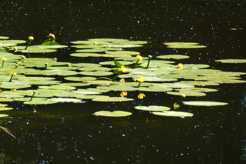 Yellow water-lily in Rosklilde