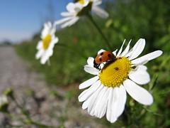 breakfast... (JoannaRB2009) Tags: summer sun flower macro nature insect colours poland polska sunny ladybird ladybug warta jeziorsko sonydschx100v