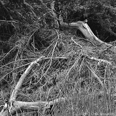 Dead Tree with Grass - Hasselblad 500C/M - Zeiss Planar 80mm f/2.8 T* CF - Pan F+ (divewizard) Tags: california blackandwhite bw white black 120 6x6 blancoynegro film blanco grass analog zeiss mediumformat square t dead blackwhite analgica noir noiretblanc negro hasselblad f carl pan blanc ilford tress f28 cf planar ilfordpanf panf 80mm 500cm pelcula hasselblad500cm mendocinocounty ilfordpanfplus panfplus schwarzundweiss blackwhitephotos ncps chrisgrossman carlzeissplanar80mmf28tcf northcoastphotographicservices