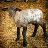 Black-faced Suffolk Lamb (Passion4Nature) Tags: sheep lamb upnorth ie govegan govegetarian pondhillfarm tatot artistictreasurechest magicuniverse magicunicornverybest magicunicornmasterpiece blackfacedsuffolksheep
