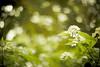 Longing for the Sky (moaan) Tags: life sky flower color green digital 50mm flora dof bokeh utata flowering hydrangea 2012 f12 inlife underthesky ef50mmf12lusm 神戸市立森林植物園 canoneos5dmarkiii kobemunicipalarboretum