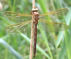 Male Brown Hawker - Aeshna grandis (Roger H3) Tags: brown insect dragonfly hawker odonata
