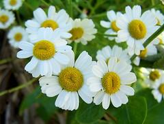 Wild Flowers (Steelback) Tags: kodak wildlife z740