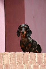 Goodmorning, who was ringing at my door ???????????? (Podere del Buongustaio, Montegiove Umbria) Tags: door pink italy dog brown black scale cane stone stairs beige italia rosa hond dachshund porta pietra zwart nero trap italie teckel deur marrone bruin roze stenen bassotto jeansgarden