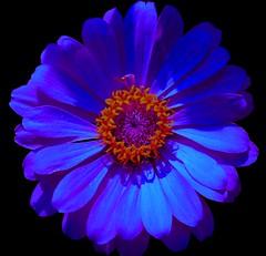 Dreamflower (samitsinha) Tags: flowers blue india flower macro love nature beautiful beauty canon photography eos flora natural kolkata bengal samit 550d flickraward samitkumarsinha samitkumarsinhaphotography