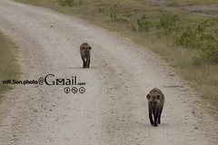 /Amboseli National Park (mR.Son.Photo) Tags: africa safari hyena amboseli  amboselinationalpark    republicofkenya