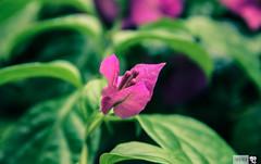 IMG_1387 (indikaparane) Tags: flowers nature kit srilanka lense 18135 araliya canon600d
