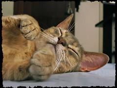 ZZZzzzzzzzzzz........ronf.....ronf..... (marta) Tags: cats chats gatos frankie katzen gatti hardlife franchino abissino vitadura catnipaddicts