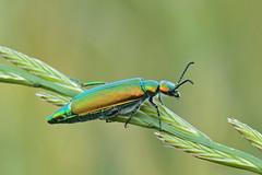 Lytta vesicatoria, Meloide (Coleottero) (Mascamit) Tags: macro natura viterbo insetto lazio insetti afrodisiaco meloide coleottero lytta bassanoromano vesicatoria cantaridina