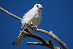 Black-shouldered Kite 2012-08-03 (_MG_1909) (ajhaysom) Tags: blackshoulderedkite elanusaxillaris