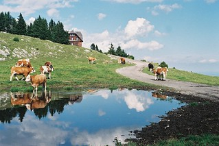 Styrian cows