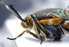 Polilla (mamd_) Tags: cano eosrebelt5 eos1200d macro macrofotografa macroextremo insecto naturaleza acercamiento close vida animal micronikkor 55mmf28 micronikkor55mmf28 nikkor ojos antenas patas polilla
