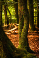 Legs of the Ent ( Jenco van Zalk) Tags: trees leaves red forest nature sunlight outdoor natural legs green legged long woods naturallight beech naturalworld naturepics vierhouten netherlands vierhouterbos jenco nikon ent