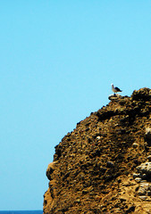 P1030252-On the watch (nokhum.markushevich) Tags: cliff birds coast pacificocean pointlobos