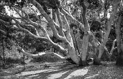 California Beech Tree (Joe Josephs: 2,861,655 views - thank you) Tags: blackandwhitephotography blackandwhite trees tree beechtree california californiacentralcoast fauna forests hiking landscapephotography landscapes californialandscape travelphotography fineartphotography fineartprints