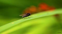 flyform2 (gshaun12) Tags: fly flower fantasticnature nature macro macrodreams upclose insects bokeh bug green