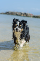 Juju (mcvmjr1971) Tags: 50mm d7000 bordercollie cachorro dog f18d fun junp lago mmoraes nikkor nikon niterói play praiadeitaipu regiãooceânica run sol curtoniteroi