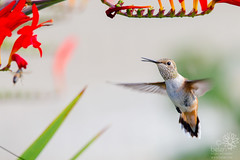 Rufous Hmmingbird  Vs. Bee (wanderinggrrl) Tags: alamy picofweek shutterstock year4week10 america animal avian background beautiful bird crocosmia feather female flower flying garden hummingbird light motion nature north orange ornithology outdoors park rufous rufoushummingbird songbird spring summer usa wildlife wing