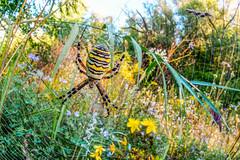 Wasp Spider (Siegfried Tremel) Tags: sonya6000 sigma15mmf28exdgdiagonalfisheye novoflexcastelq insect naturallight makro wideanglemacro nature