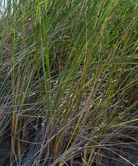 American Beachgrass (Dendroica cerulea) Tags: americanbeachgrass beachgrass ammophilabreviligulata ammophila agrostidinae poeae pooideae poaceae poales grass beach dune summer sandyhook gatewaynationalrecreationarea monmouthcounty nj newjersey