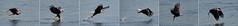 Bald Eagle (6 frame sequence) (jt893x) Tags: 150600mm americanbaldeagle baldeagle bif bird d500 eagle fish haliaeetusleucocephalus jt893x nikon nikond500 raptor sigma sigma150600mmf563dgoshsms