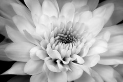 Flower in Black and White (jan_clewett) Tags: macro macromonday blackandwhiteflower crysanthumum beautiful soft pretty flower vibrant elegant