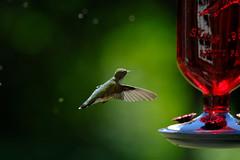 One more for the road (DHaug) Tags: rubythroatedhummingbird bokeh sooc hummingbird archilochuscolubris bird backyard birdwatching feeding flight hovering xf100400mmf4556rlmoiswr xf14xtcwr fujifilm xpro2