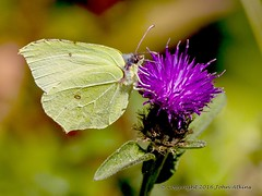 Brimstone Butterfly  15/08/16 (johnatkins2008) Tags: wow brilliant brimstonebutterfly springtime countryside nenepark ferrymeadows johnatkins2008 wildlife wildlifephotography butterflies