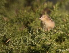 Tout doux... (Rgis B 31) Tags: cisticolajuncidis cisticoledesjoncs cisticolids passriformes zittingcisticola arige bird domainedesoiseaux mazres oiseau