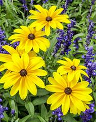 Yellow and Purple Flowers (photographyguy) Tags: denver colorado purple yellow purpleandyellow flowers summer civiccenterpark
